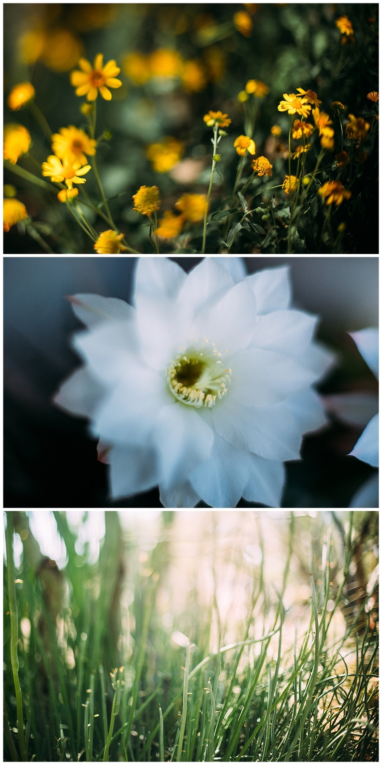 the free 52 project, arizona landscape, freelensing, free lensed, cactus flower, desert flowers tucson
